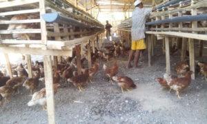 Inilah kandang ayam yang ditangani Sulaiman H Yasin di Dodu.)